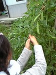 お豆収穫.jpg